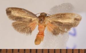 (Metalobosia diaxantha - CLV3292)  @14 [ ] Copyright (2011) David C. Lees Unspecified