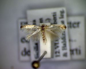 (Phyllonorycter etnensis - CLV5212)  @12 [ ] Copyright (2012) Olivier Bouteleux Unspecified