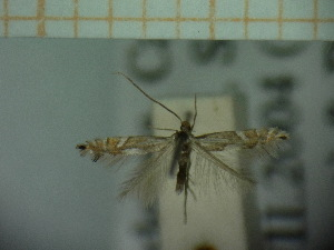 (Phyllonorycter AlnusglutinosaSardinia - CLV5227)  @12 [ ] Copyright (2012) Olivier Bouteleux Unspecified