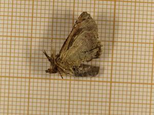 (Paectes areusa - CLV4444)  @13 [ ] Copyright (2012) Olivier Bouteleux Institut National de la Recherche Agronomique, Forestry Zoology