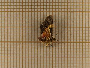 (Illice unifascia - CLV4653)  @12 [ ] Copyright (2012) Olivier Bouteleux Institut National de la Recherche Agronomique, Forestry Zoology