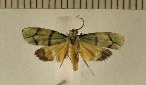 (Illice intacta - CLV4831)  @13 [ ] Copyright (2012) Olivier Bouteleux Institut National de la Recherche Agronomique, Forestry Zoology