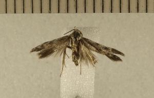 (Holcocerinae - CLV4929)  @12 [ ] Copyright (2012) Olivier Bouteleux Institut National de la Recherche Agronomique, Forestry Zoology