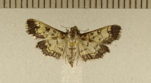 (Ategumia matutinalis - CLV5045)  @14 [ ] Copyright (2012) Olivier Bouteleux Institut National de la Recherche Agronomique, Forestry Zoology