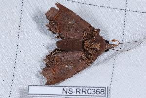 (Polygoniodes laciniata - NS-RR0368)  @12 [ ] Copyright (2011) Rodolphe Rougerie University de Rouen