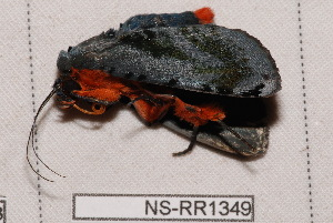 (Hemicephalis proserpina - NS-RR1349)  @13 [ ] Copyright (2011) Rodolphe Rougerie University de Rouen