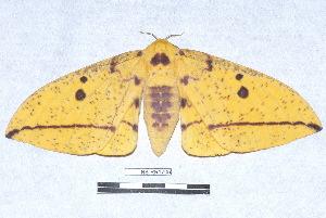 (Eacles imperialis cacicus - NS-RR1705)  @15 [ ] Copyright (2011) Rodolphe Rougerie University de Rouen