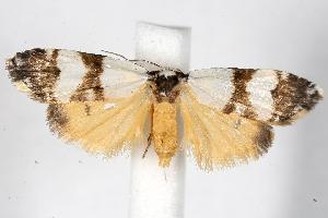 (Thallarcha albicollis - 05-NSW-01306)  @14 [ ] CreativeCommons - Attribution Non-Commercial Share-Alike (2010) CBG Photography Group Centre for Biodiversity Genomics