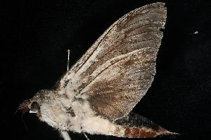 BOLD Systems: Taxonomy Browser - Endoxyla cinereus {species}