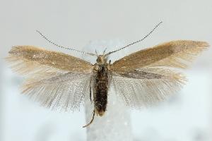 (Coleophora cornutella - MM22022)  @13 [ ] CreativeCommons - Attribution Non-Commercial (2012) Marko Mutanen University of Oulu