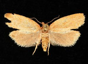 (Sparganothis distincta - 06-BLLOC-1389)  @14 [ ] CreativeCommons - Attribution Non-Commercial Share-Alike (2010) CBG Photography Group Centre for Biodiversity Genomics