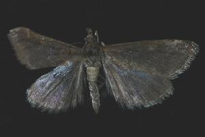 (Pyrausta morenalis - 06-BLLOC-2919)  @13 [ ] CreativeCommons - Attribution Non-Commercial Share-Alike (2010) CBG Photography Group Centre for Biodiversity Genomics