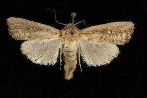 (Leucania oregona - 06-BLLOC-3911)  @14 [ ] CreativeCommons - Attribution Non-Commercial Share-Alike (2010) CBG Photography Group Centre for Biodiversity Genomics