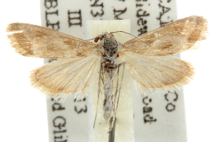 (Noctueliopsis aridalis - BIOUG06259-C06)  @14 [ ] CreativeCommons - Attribution Non-Commercial Share-Alike (2013) CBG Photography Group Centre for Biodiversity Genomics