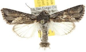 (Lacinipolia vicina group - BIOUG06604-B08)  @14 [ ] CreativeCommons - Attribution Non-Commercial Share-Alike (2013) CBG Photography Group Centre for Biodiversity Genomics