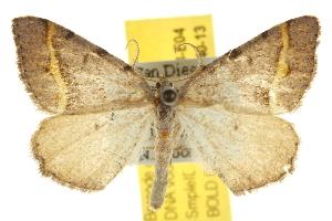 (Speranza austrinata - BIOUG07173-E04)  @15 [ ] CreativeCommons - Attribution Non-Commercial Share-Alike (2012) CBG Photography Group Centre for Biodiversity Genomics