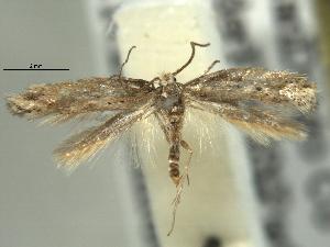 (Elachista coniophora - BIOUG06174-G04)  @14 [ ] CreativeCommons - Attribution Non-Commercial Share-Alike (2013) CBG Photography Group Centre for Biodiversity Genomics