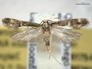 (Chionodes dentella - BIOUG06175-F11)  @14 [ ] CreativeCommons - Attribution Non-Commercial Share-Alike (2013) CBG Photography Group Centre for Biodiversity Genomics