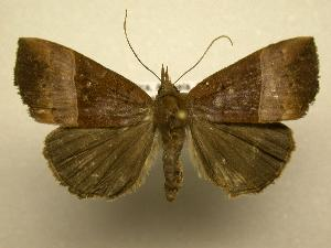 (Hypena tithonalis - 07-CRBS-892)  @14 [ ] Unspecified (default): All Rights Reserved  Unspecified Unspecified