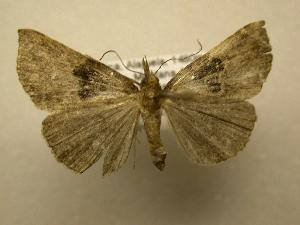 (Hypena drucealis - 07-CRBS-894)  @14 [ ] Unspecified (default): All Rights Reserved  Unspecified Unspecified