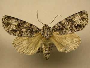(Acronicta velia - 08-CRBS-060)  @14 [ ] Unspecified (default): All Rights Reserved  Unspecified Unspecified