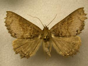 (Prionoptera axeonia - 07-CRBS-1232)  @14 [ ] Unspecified (default): All Rights Reserved  Unspecified Unspecified
