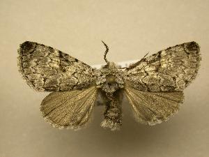 (Charadra nigracreta - 08-CRBS-164)  @15 [ ] Unspecified (default): All Rights Reserved  Unspecified Unspecified