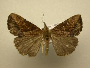 (Hypena sp. CR-10 - 08-CRBS-677)  @14 [ ] Unspecified (default): All Rights Reserved  Unspecified Unspecified