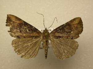 (Hypena sp. CR-11 - 08-CRBS-678)  @13 [ ] Unspecified (default): All Rights Reserved  Unspecified Unspecified