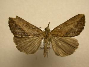 (Hypena sp. CR-12 - 08-CRBS-679)  @14 [ ] Unspecified (default): All Rights Reserved  Unspecified Unspecified