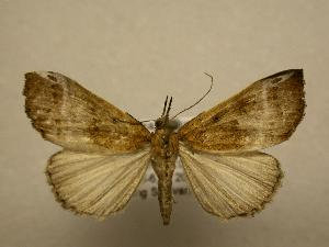 (Hypena lactiferalis - 08-CRBS-680)  @14 [ ] Unspecified (default): All Rights Reserved  Unspecified Unspecified