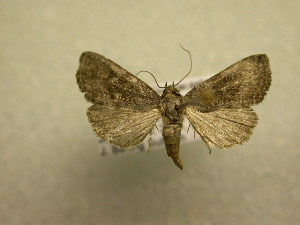(Ogdoconta pulvilinea - 08-CRBS-973)  @11 [ ] Unspecified (default): All Rights Reserved  Unspecified Unspecified