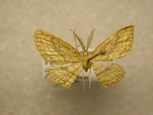 (Cyclophora sp. CR29 - 10-CRBS-039)  @13 [ ] Unspecified (default): All Rights Reserved  Unspecified Unspecified