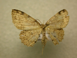 (Cyclophora sp. CR24 - 10-CRBS-130)  @11 [ ] Unspecified (default): All Rights Reserved  Unspecified Unspecified