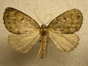(Dasciopteryx sp. CR-5 - 10-CRBS-412)  @15 [ ] Unspecified (default): All Rights Reserved  Unspecified Unspecified