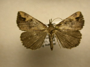 (Hypena turalis - 10-CRBS-1872)  @14 [ ] No Rights Reserved (2010) James Sullivan Research Collection of J. B. Sullivan