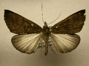 (Hypena columbiata - 10-CRBS-1875)  @14 [ ] No Rights Reserved (2010) James Sullivan Research Collection of J. B. Sullivan