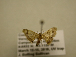 (Idaea purpureovittata - 11-CRBS-1494)  @13 [ ] No Rights Reserved  J. B. Sullivan Unspecified