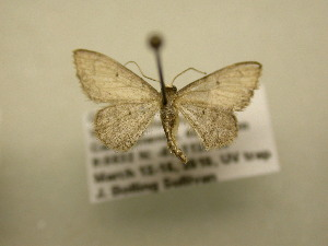 (Idaea sp - 11-CRBS-1509)  @14 [ ] No Rights Reserved  J. B. Sullivan Unspecified