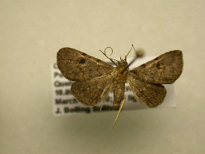 (NoctuidJBS - 11-CRBS-2049)  @14 [ ] No Rights Reserved (2010) James Sullivan Research Collection of J. B. Sullivan
