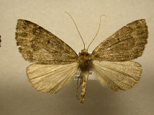 (Dasciopteryx sp. CR4 - 12-CRBS-124)  @14 [ ] No Rights Reserved (2012) JB Sullivan Research Collection of J.B. Sullivan