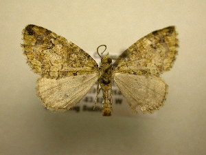 (Hydriomena furinae - 12-CRBS-255)  @14 [ ] No Rights Reserved (2012) JB Sullivan Research Collection of J.B. Sullivan