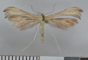 (Merrifieldia baliodactylus - NHMO-07023)  @14 [ ] Unspecified (default): All Rights Reserved  Unspecified Unspecified