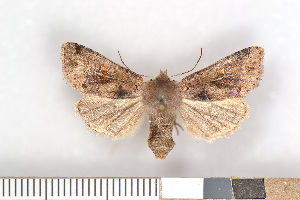 (Orthosia gothica - NHMO-08011)  @15 [ ] Unspecified (default): All Rights Reserved  Unspecified Unspecified