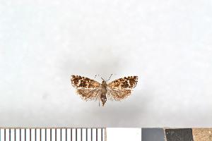(Epinotia fraternana - NHMO-2011.103)  @14 [ ] Unspecified (default): All Rights Reserved  Unspecified Unspecified