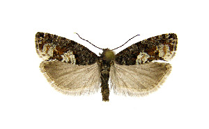 (Epinotia indecorana - KBE-07011)  @14 [ ] Copyright (2015) Unspecified University of Oslo, Natural History Museum