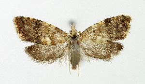 (Pseudargyrotoza - NHMO-DAR-5108)  @14 [ ] Copyright (2015) Unspecified University of Oslo, Natural History Museum