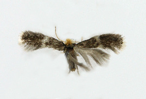 (Ectoedemia arcuatella - NHMO-DAR-6333)  @12 [ ] Copyright (2015) Unspecified University of Oslo, Natural History Museum