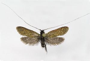 (Adela reaumurella - NHMO-DAR-6352)  @14 [ ] Copyright (2015) Unspecified University of Oslo, Natural History Museum