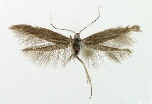 (Coleophora idaeella - NHMO-DAR-5218)  @14 [ ] Copyright (2015) Unspecified University of Oslo, Natural History Museum